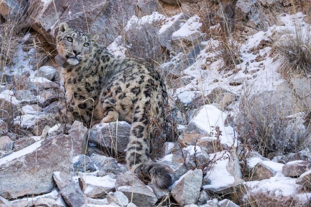 Snow Leopard Conservation in the Kyrgyz Republic