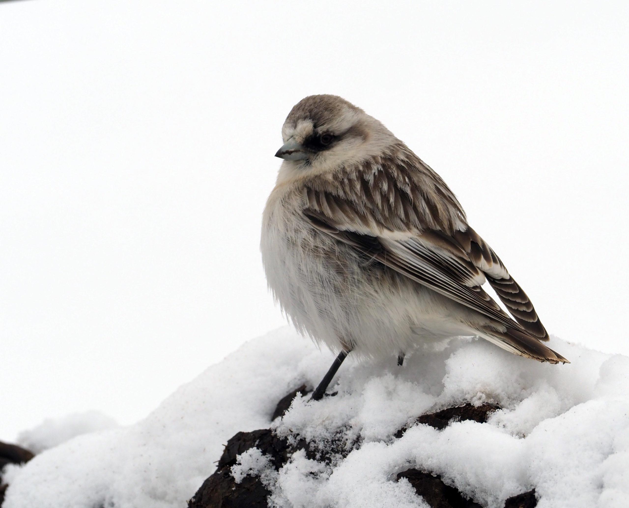 Birds in snow leopard habitats